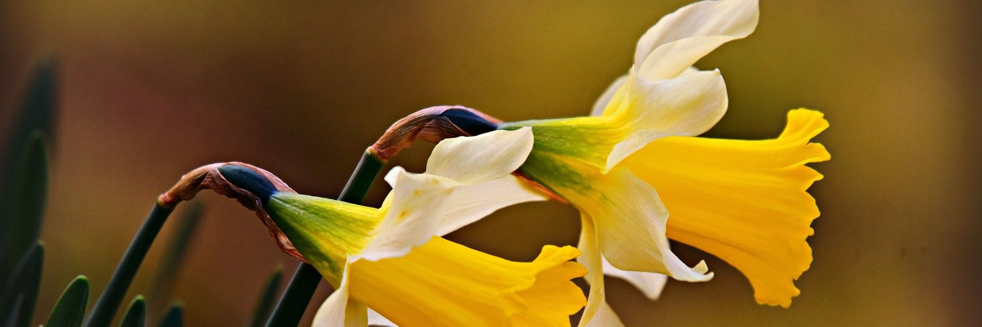 Profile photograph of two yellow daffodils blooming in front of a light brown backround